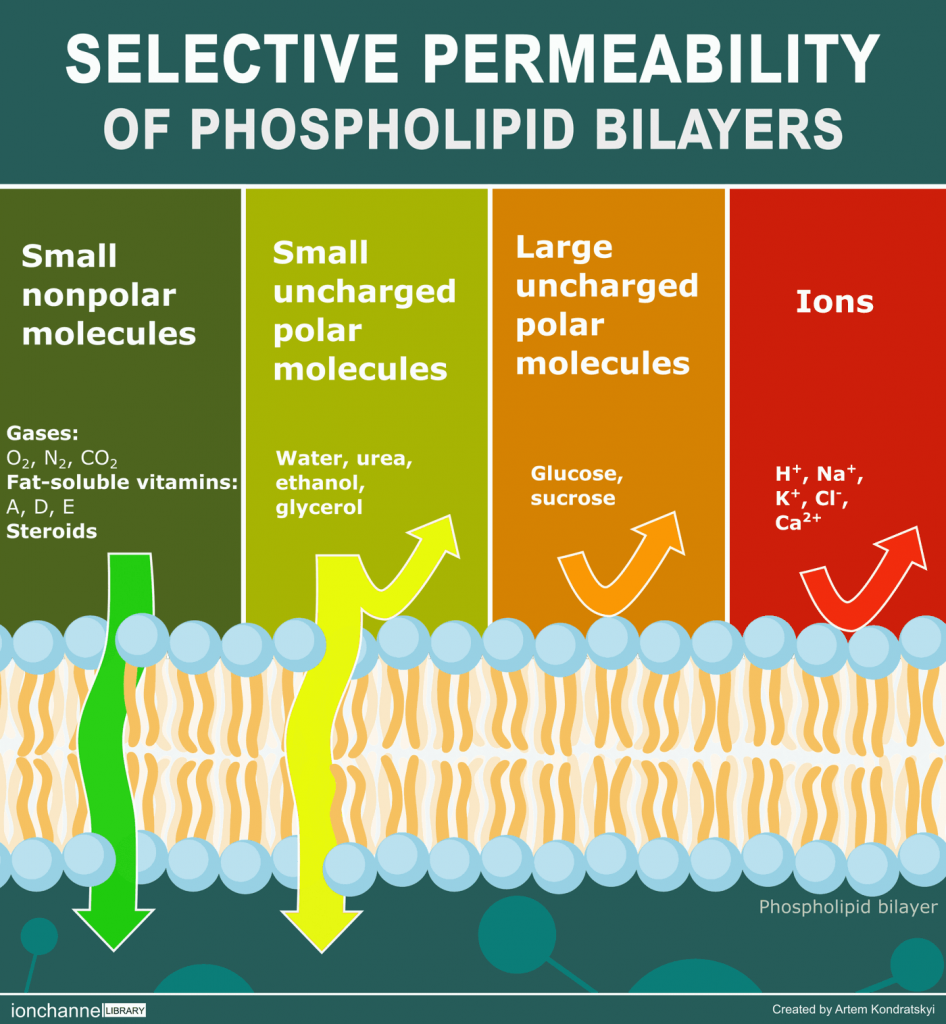 selective permeability of phospholipid bilayers